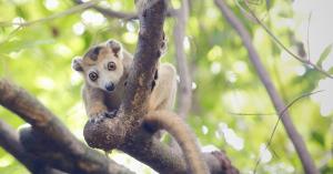 Madagascar, lemur